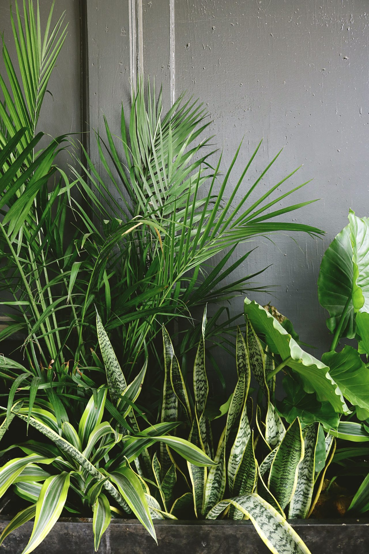 office-plant-reduce-stress-beside-taro-and-palm-plant-near-gray-wall